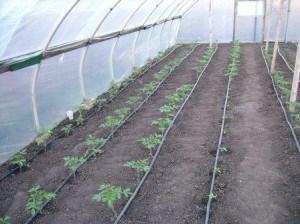 подкормка помидор в теплице