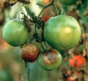 помидор в теплице болезни