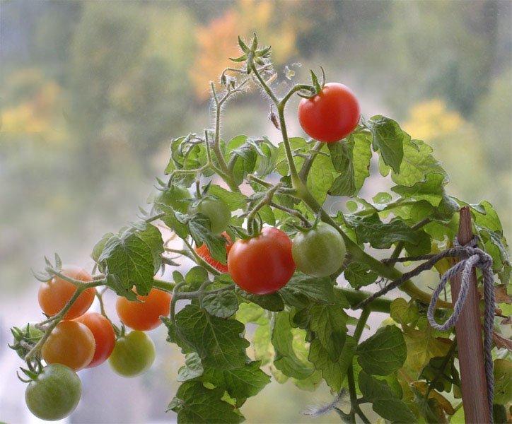 помидоры для теплиц низкорослые