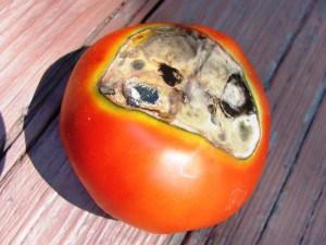 помидоры в теплице болезни