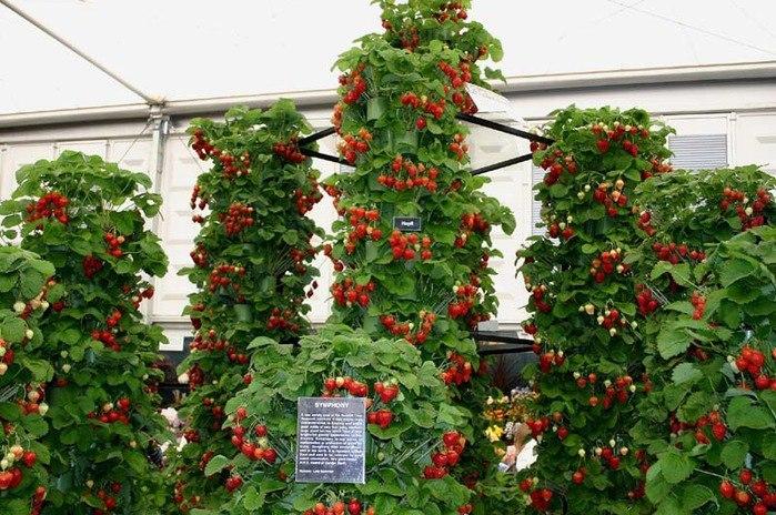Выращивание клубники в теплице в зимой