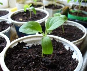 выращивание перца болгарского в теплице