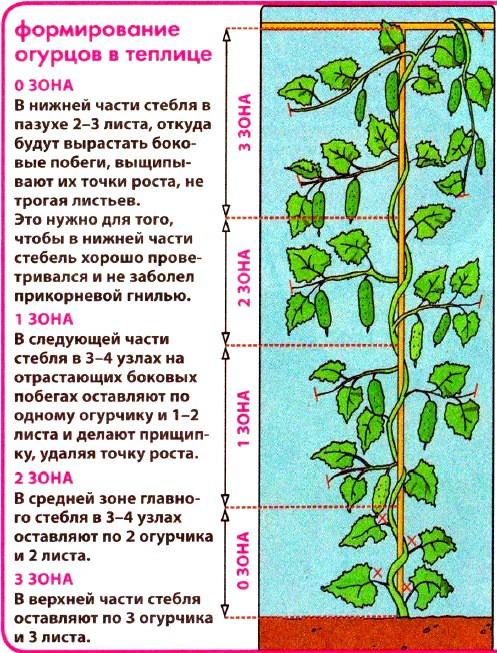 формирование стебля огурца в