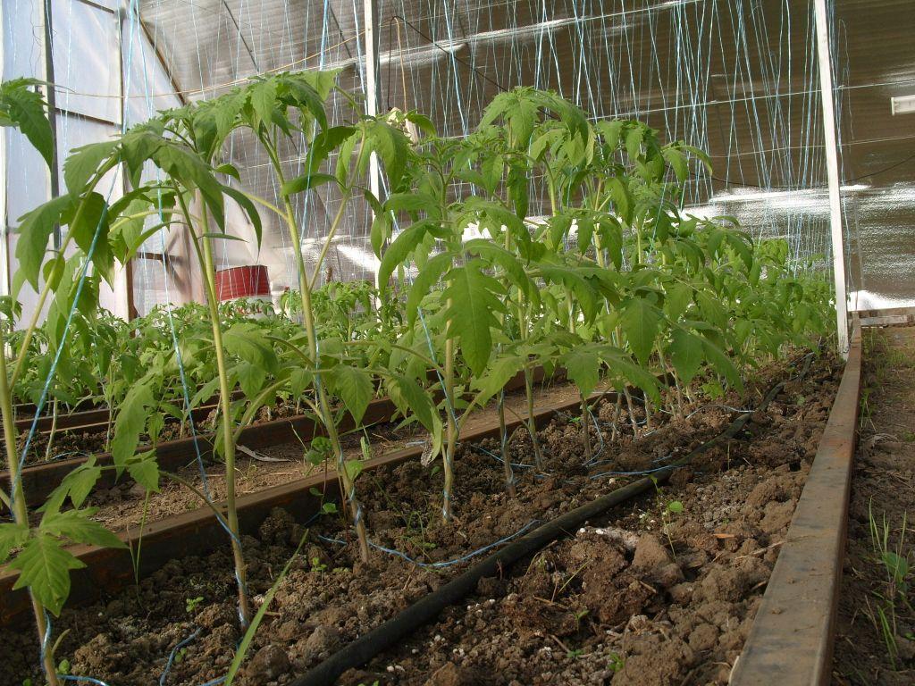 как выращивать помидоры в теплице зимой