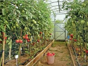 как вырастить в теплице помидоры