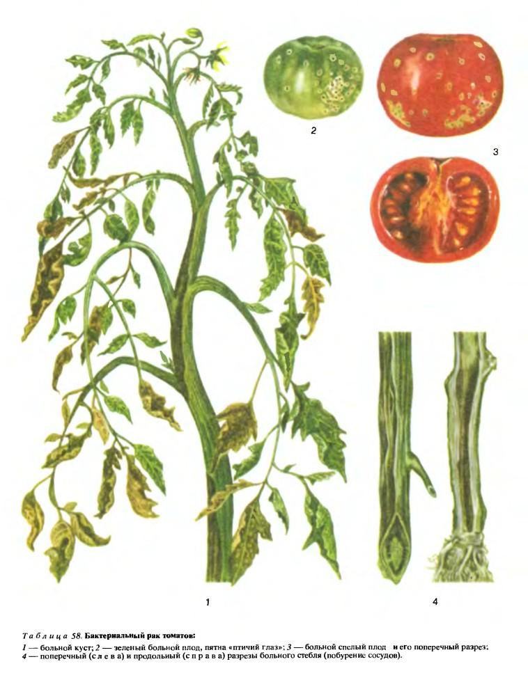 Признаки поражения помидора бактериальным раком