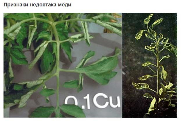 почему в теплице у помидор скручиваются листья