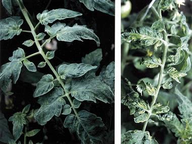 Помидорка, пораженная вирусом табачной мозаики