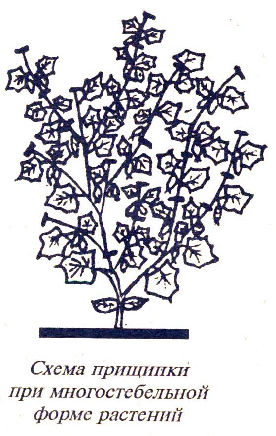 схема формирования огурцов в