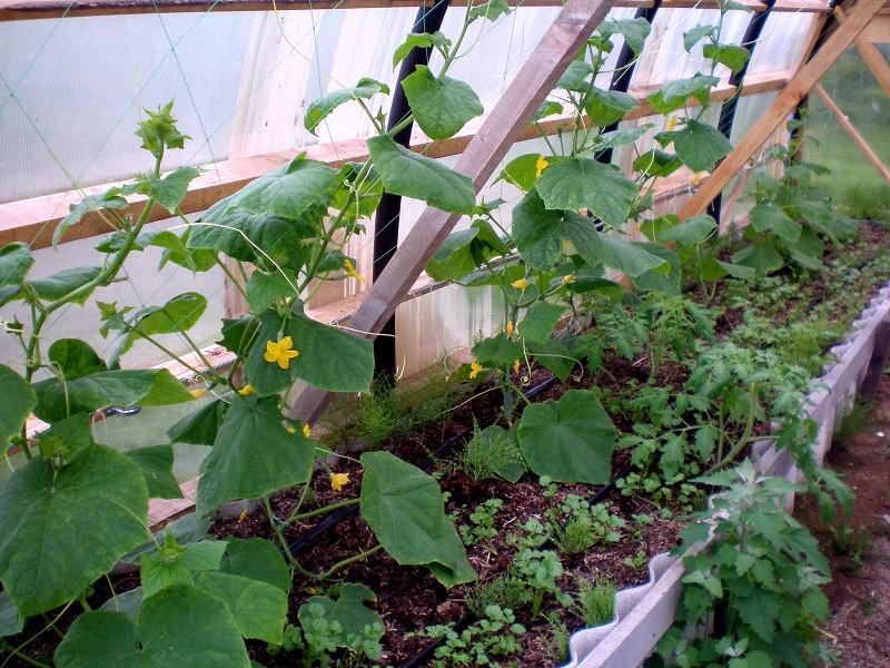 Выращивание огурцов в парниках 65