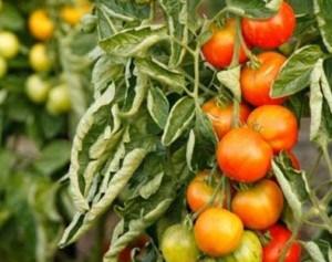 в теплице скручиваются листья у помидор почему