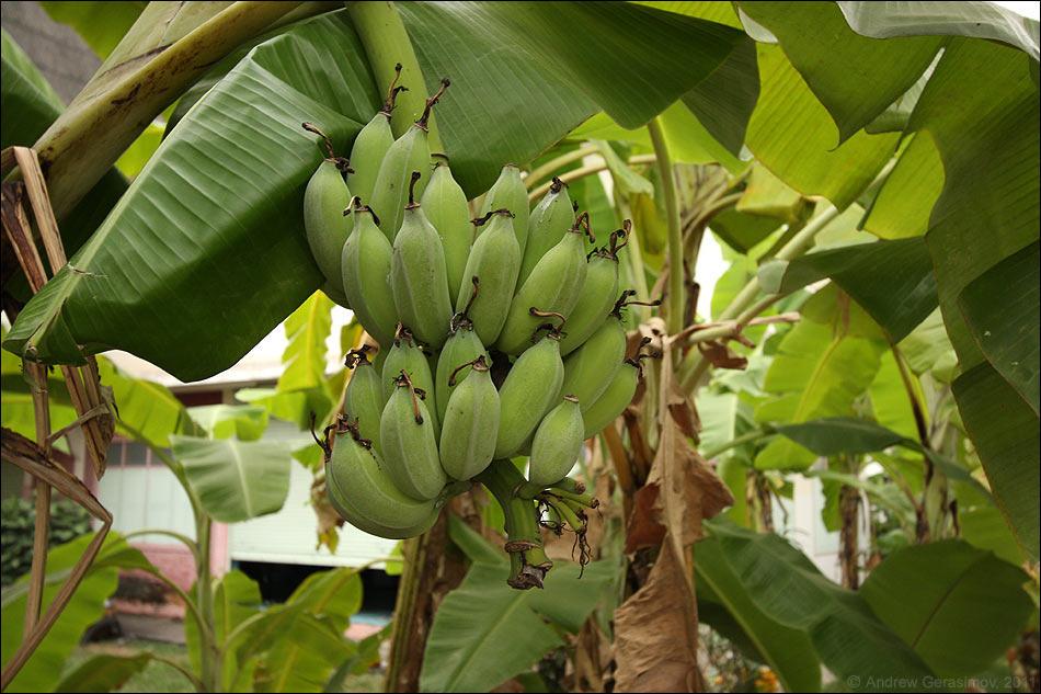 Выращивание ананасов и бананов в теплице