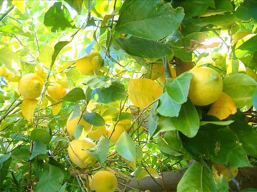 выращивание лимона в теплице