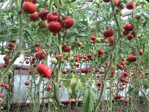 выращивание помидор зимой в теплице