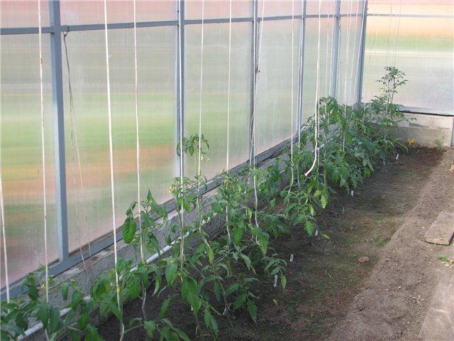 выращивание помидоров зимой в