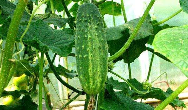 выращивание томатов и огурцов в одной теплице