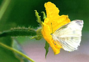 Бабочка, опыляющая цветок огурца