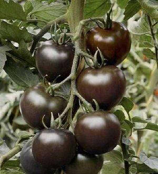 томат цыган фото отзывы