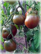 сорта парниковых помидор
