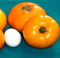 сорта томатов для парников