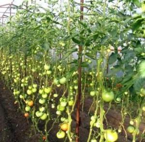 Сформированные кусты дают лучший урожай