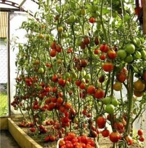 У томатов на этом фото удалены все листья ниже плодов и оставлены верхние