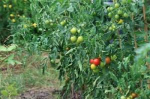 Несформированный куст – обилие зелени и мелкие плоды