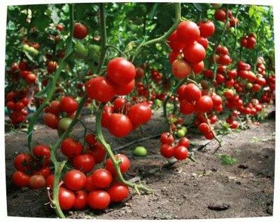 Такой урожай – результат правильного ухода и полива