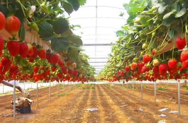 Промышленная теплица для выращивания клубники 550