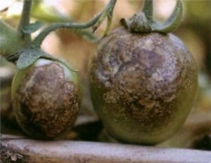Пораженные фитофторой томаты