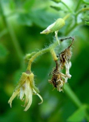 Почему осыпаются цветы у помидор в теплице