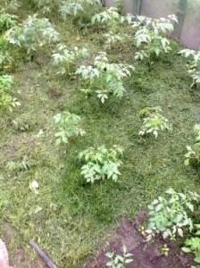 Трава должна пару дней подвялиться под солнцем