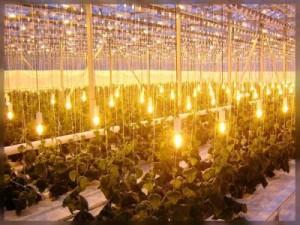 Правильно подобранное освещение – гарантия хорошего урожая