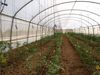 Фермерская теплица для томатов
