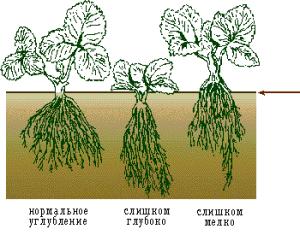 Глубина посадки и выбор грунта
