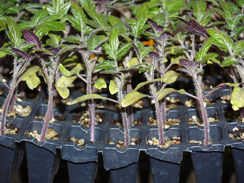 Как выращивается рассада для помидор