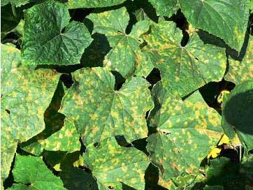 Листья приобретают мозаичную окраску