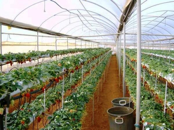 Промышленная теплица для выращивания клубники 534
