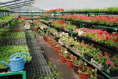 Цветы и цветочная рассада в теплице