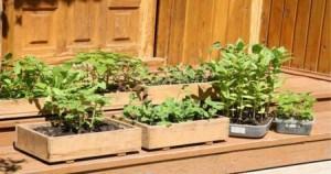Закаливание рассады томатов и перцев