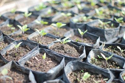Как выращиваются баклажаны