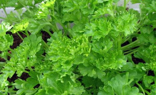 Петрушка – источник клетчатки и витаминов