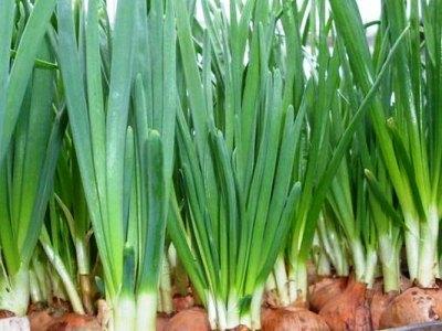 При выращивании только на зелень лук можно сажать вплотную