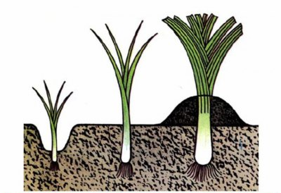 Рассада высаживается на дно бороздки и по мере её роста почва подсыпается к основанию