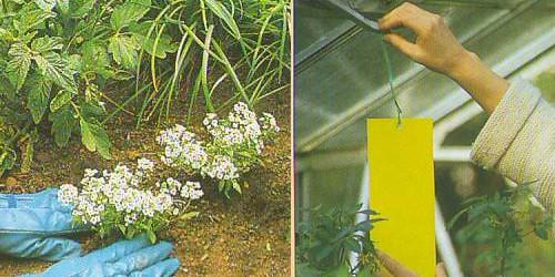 Зонтичные растения и ловушки – самые безопасные способы уничтожения белокрылки