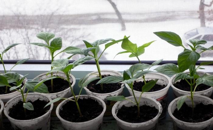 Благоприятные условия для выращивания перца