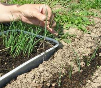 Как правильно высадить лук