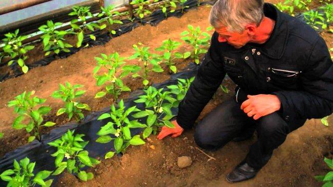 Рассада для выращивания перца