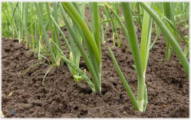 Выращивание зеленого лука в парнике