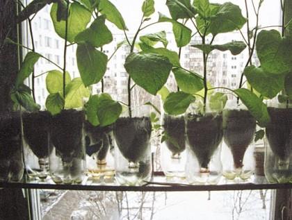 Выращивание культуры при помощи пластиковых бутылок